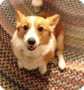 Corgi Dog for adoption in Richmond, Virginia - Hector