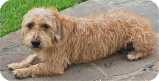 Cairn Terrier Mix Dog for adoption in Norwalk, Connecticut - Askew-meet him-see his video