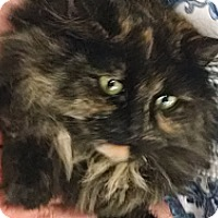 Adopt A Pet :: Charlotte (lap cat) - Sterling Hgts, MI