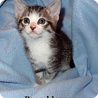 Adopt A Pet :: Brambleclaw - Bentonville, AR