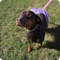Doberman Pinscher Mix Dog for adoption in McAllen, Texas - Strawberry