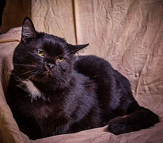 Domestic Shorthair Cat for adoption in Anna, Illinois - CHITA