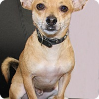 Chihuahua Mix Puppy for adoption in Torrance, California - Spunky