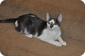 Domestic Shorthair Cat for adoption in La Canada Flintridge, California - Jeremy