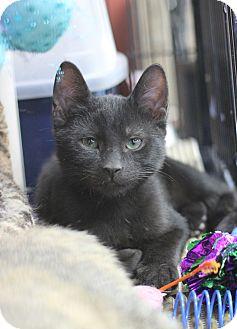 Domestic Shorthair Kitten for adoption in Carlisle, Pennsylvania - Paris