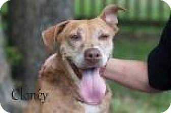 Rhodesian Ridgeback Mix Dog for adoption in Middleburg, Florida - Clover