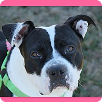 American Staffordshire Terrier Dog for adoption in McDonough, Georgia - CJ