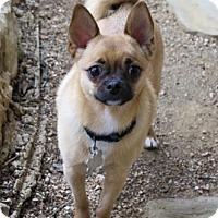 Adopt A Pet :: Chip - San Antonio, TX