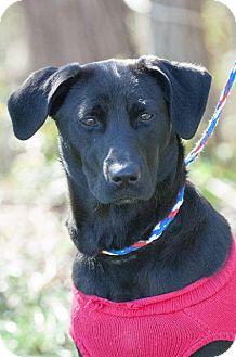Labrador Retriever Mix Dog for adoption in Johnson City, Tennessee - moon