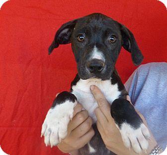 Labrador Retriever/Boxer Mix Puppy for adoption in Oviedo, Florida - Bubbles