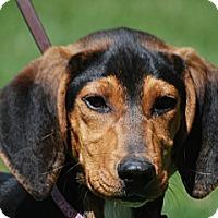Adopt A Pet :: Scarlet - Providence, RI