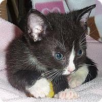 Adopt A Pet :: Adopt cuddly Prince Edward! - Stanford, CA