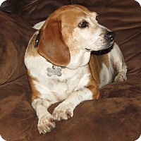 Beagle Dog for adoption in Wood Dale, Illinois - Honey BEEgle