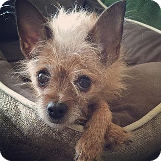 Yorkie, Yorkshire Terrier/Chihuahua Mix Dog for adoption in Beverly Hills, California - Gigi lap dog