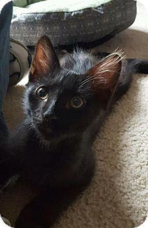 Domestic Mediumhair Kitten for adoption in Tucson, Arizona - Beast