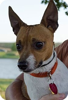Jack Russell Terrier Mix Dog for adoption in Dallas/Ft. Worth, Texas - Bean in Denton