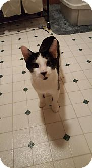Domestic Shorthair Cat for adoption in Breinigsville, Pennsylvania - Pixel