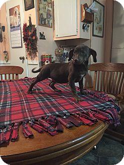 Dachshund/Dachshund Mix Puppy for adoption in Kittery, Maine - Ember