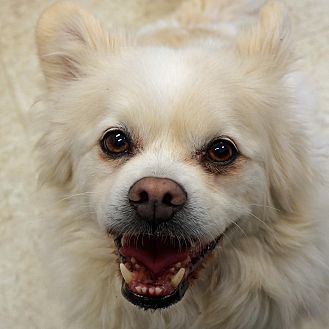 American Eskimo Dog Mix Dog for adoption in Sprakers, New York - Hal