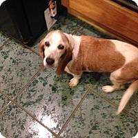 Adopt A Pet :: Missy - Groveland, FL