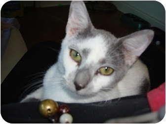 Domestic Shorthair Cat for adoption in Lake Charles, Louisiana - Tom