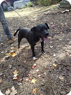 Staffordshire Bull Terrier Dog for adoption in Wanaque, New Jersey - Jeramiah
