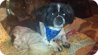 Shih Tzu Dog for adoption in Hazard, Kentucky - Aldo