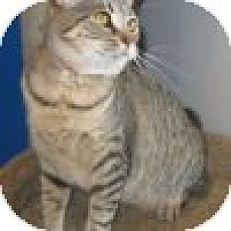 Domestic Shorthair Cat for adoption in Powell, Ohio - Suri