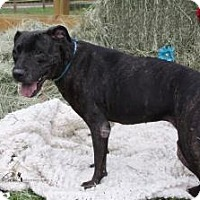 Pit Bull Terrier Mix Dog for adoption in Bunnell, Florida - Jessie