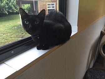 Domestic Shorthair Cat for adoption in Boca Raton, Florida - Jessie