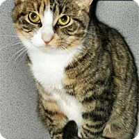 Domestic Shorthair Cat for adoption in Waupaca, Wisconsin - Angelina