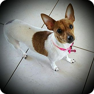 Chihuahua Dog for adoption in West Palm Beach, Florida - Bailey