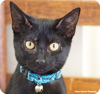 Domestic Shorthair Cat for adoption in Knoxville, Tennessee - Pollyanna