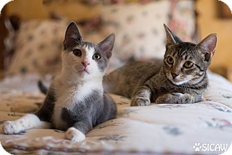 Domestic Shorthair Cat for adoption in Staten Island, New York - Marco and Molly