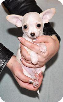 Chihuahua Mix Puppy for adoption in Redmond, Washington - Ferb Fletcher