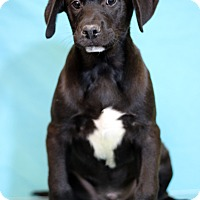 Adopt A Pet :: Dandy - Waldorf, MD