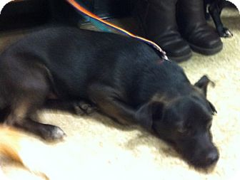 Chihuahua Mix Dog for adoption in Loudonville, New York - Aiden