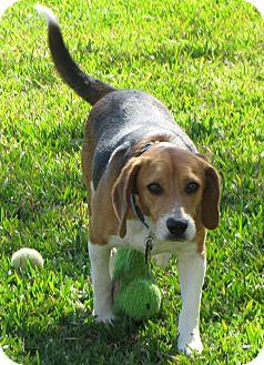 Beagle Dog for adoption in Houston, Texas - Buddy