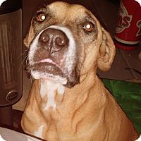Adopt A Pet :: SOPHIE - Higley, AZ