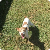 Jack Russell Terrier Mix Dog for adoption in Grafton, Wisconsin - Sam