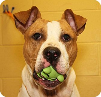 Pit Bull Terrier Mix Dog for adoption in Clarksville, Tennessee - Coletrane
