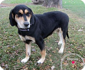 Labrador Retriever/Hound (Unknown Type) Mix Dog for adoption in Sidney, Ohio - Lola