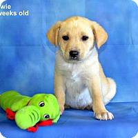 Adopt A Pet :: Bowie - Yreka, CA