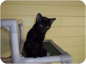 Bombay Kitten for adoption in McDonough, Georgia - Becca better than evah