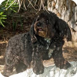 Papillon/Poodle (Miniature) Mix Dog for adoption in Riverview, Florida - RINGO