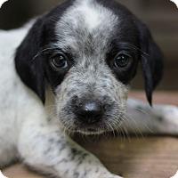 Adopt A Pet :: Ash - Fredericksburg, VA