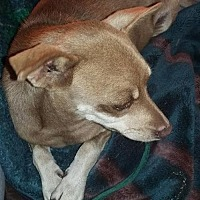 Chihuahua Mix Dog for adoption in San Diego, California - Bajamama