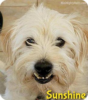 Terrier (Unknown Type, Medium) Mix Dog for adoption in Phoenix, Arizona - Sunshine (Sunny)