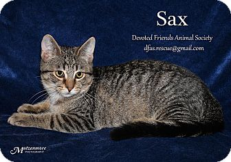 Domestic Shorthair Kitten for adoption in Ortonville, Michigan - Sax