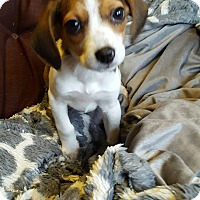 Adopt A Pet :: Harmony - Cleveland, OH